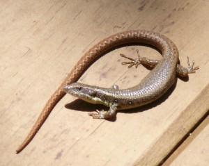 Lizard_UK1-01